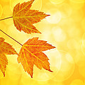 Fall Maple Leaves Trio With Bokeh Background by Jit Lim