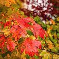 Fall Maple Leaves by Wolfgang Hauerken