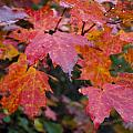 Fall Maples by Breanna Calkins