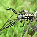 Fall Meadow Spider - Argiope Aurantia by Mother Nature