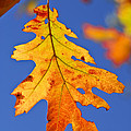 Fall Oak Leaf by Elena Elisseeva