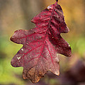 Fall Oak Leaf by Harold Hopkins