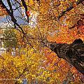 Fall Poplar Leaves Yellows Oranges 2899 by Marie Fierek