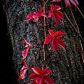 Fall Red by John Bowers