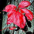 Fall Red Leaf by Ed Weidman