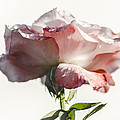Fall Rose by Camille Lopez
