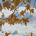 Fall Snow On Maple by Scott Campbell