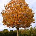 Fall Sugar Maple by Melinda Fawver