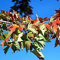 Fall Tree by Valentino Visentini