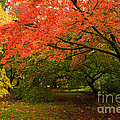 Fall Trees by Amanda Elwell