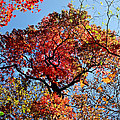 Fall Trees Of Wnc by Duane McCullough