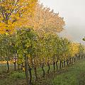 Fall Vineyard Colors by Jean Noren