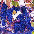 Fall Wine Grapes by Garry Gay