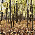 Fall Woods by Tim Hauser