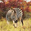 Fall Zebra by David Gleeson