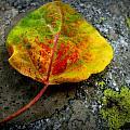 Fallen Autumn Aspen Leaf by Aaron Burrows