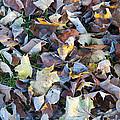 Fallen Leaves by Bill Cannon