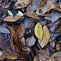 Fallen Leaves by Charles Majewski