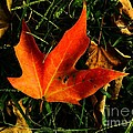 Fallen Leaves by Robyn King