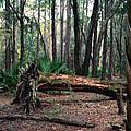 Fallen Oak. Split Oak Forest. by Chris  Kusik