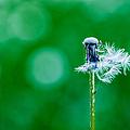 Fallen Off Dandelion - Featured 3 by Alexander Senin