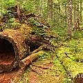 Fallen Rainforest Giant by Adam Jewell