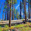 Fallen Sequoia In Mariposa Grove In Yosemite National Park-california by Ruth Hager