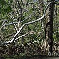 Fallen Sycamore by Alys Caviness-Gober
