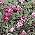 Fallin' Roses by Bonnie Willis