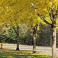 Falling Leaves From Neighborhood Beech Trees by Jit Lim