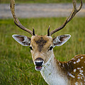 Fallow Deer  by Linsey Williams