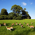 Fallow Deer In The Demesne, Doneraile by Panoramic Images