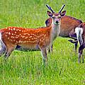 Fallow Deer by Tony Murtagh