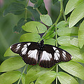 False Diadem Butterfly by Judy Whitton