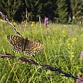 False Heath Fritillary In Meadow Bavaria by Konrad Wothe