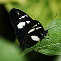 False Zebra Longwing Butterfly by Marilyn Hunt