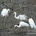 Family Affair Egrets Louisiana by Lizi Beard-Ward