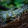 Baby Alligator Selfie by Mark Andrew Thomas