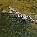 Family Of Geese On The Rogue River by Mick Anderson