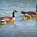 Family Of Geese Out For A Swim by Tara Potts