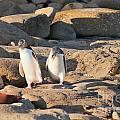 Family Of Nz Yellow-eyed Penguin Or Hoiho On Shore by Stephan Pietzko