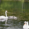 Family Of Swans by Teresa Mucha