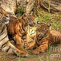 Tiger Family by Traci Law