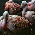 Flamingos by Scott Rogers