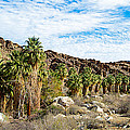 Fan Palms Line The Creek In Andreas Canyon In Indian Canyons-ca by Ruth Hager