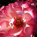 Fancy Flaminco Rose by Caryl J Bohn