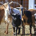 Fancy Goats by Dianne Phelps