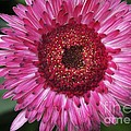 Fancy Pink Daisy by Deborah Benoit