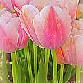 Fantasy In Pink - Tulips by Dora Sofia Caputo Photographic Design and Fine Art