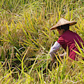 Farmer Harvesting Rice On The Terrace by Keren Su